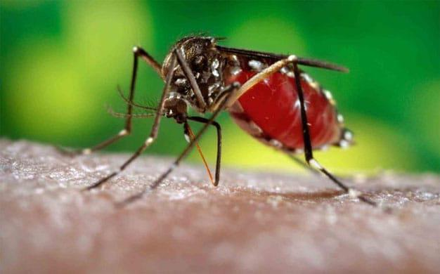 anopheles-mosquito626