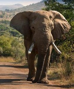 elephant250
