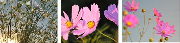 Secunda is famed Cosmos Flower Country