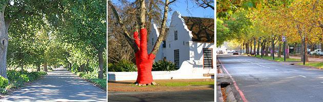 Stellenbosch | Oaks