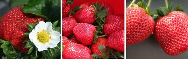 Strawberry Season in Stellenbosch