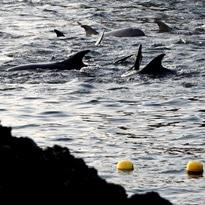 Japan finishes biggest dolphin slaughter yet
