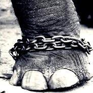 Elephant who cried for freedom faces new chains