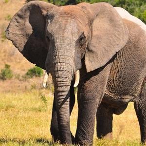Businesses save lone Kalahari elephant