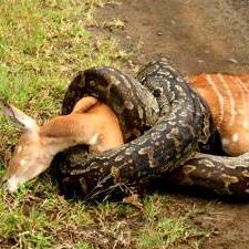 Python seen killing bushbuck