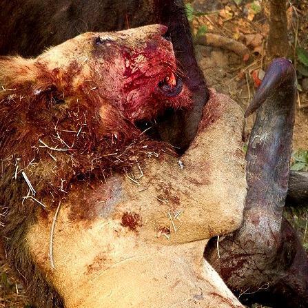 Lion vs Buffalo - Battle to the death: Epic hour-long fight