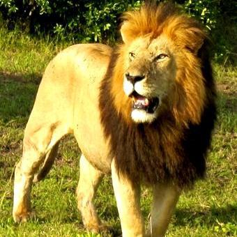 Man jumps into lion enclosure, mauled to death at East London zoo