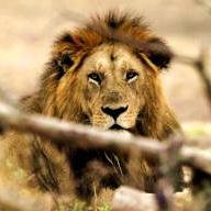 Lion still four steps ahead of trackers