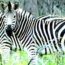 The riddle behind zebra stripes