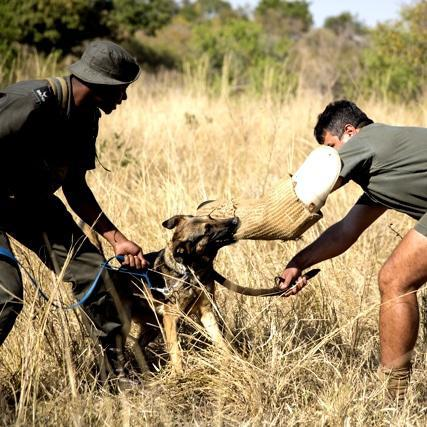The poachers fear the dogs, and the dogs fear the leopards