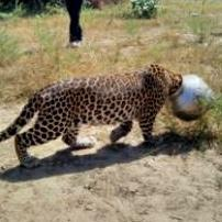 Thirsty leopard gets head stuck in pot