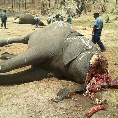Zimbabwe cops kill elephant poacher in shoot-out, recover tusks