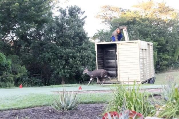 Male bushbuck released at Selborne Golf Estate. Photographer: Sean Meets