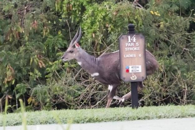Bushbuck at Selborne