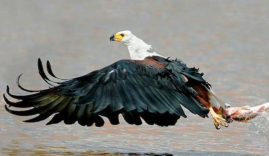 The African Fish Eagle is a well known resident of the Vaal Triangle