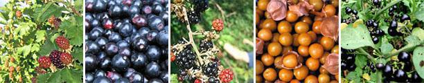 Berry Picking at Bon-Af-Berry Farm, Parys, South Africa