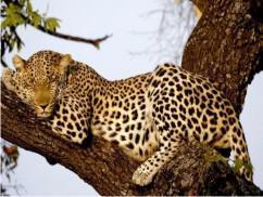 A Leopard taking a resti