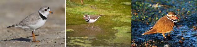 Witbank Plover